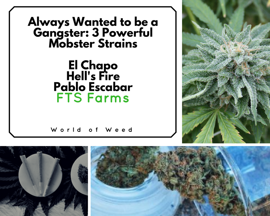 Always Wanted to Be a Gangster: 3 Powerful Mobster Strains by FTS
