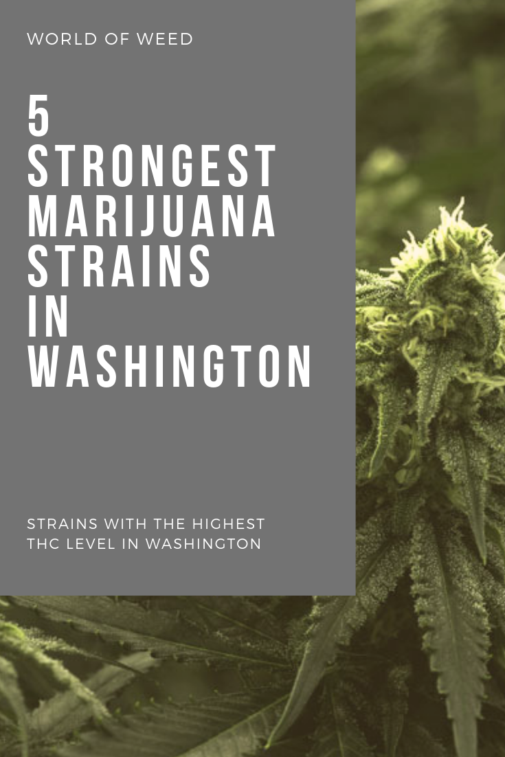5 Strongest Marijuana Strains in Washington