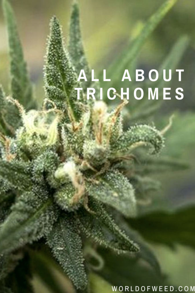 All About Trichomes | Tacoma dispensary World of Weed