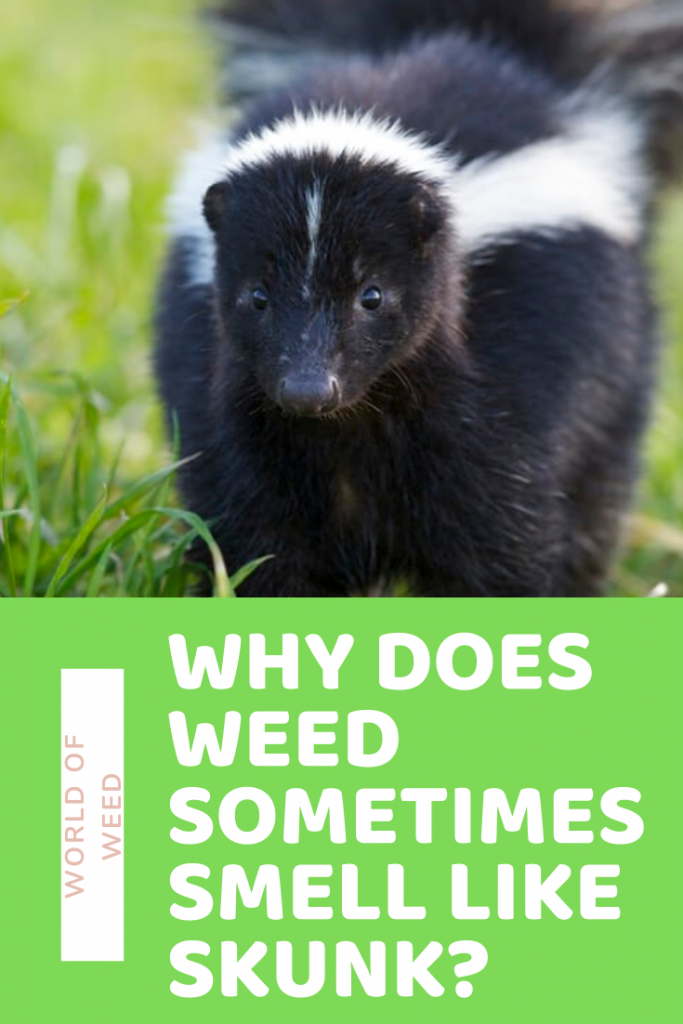 Why does weed sometimes smell like skunk?