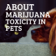 About Marijuana Toxicity in Pets